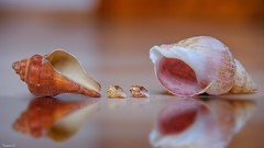 Macro - 6639 (✵ΨᗩSᗰIᘉᗴ HᗴᘉS✵62 000 000 THXS) Tags: macro sea coquillage réflection reflets reflection reflet water fuji fujifilmgfx50s fujifilm belgium europa aaa namuroise look photo friends be yasminehens interest eu fr party greatphotographers lanamuroise flickering