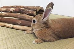 Ichigo san 1494 (Errai 21) Tags: いちごさん ichigo san  ichigo rabbit bunny cute netherlanddwarf pet ウサギ うさぎ いちご ネザーランドドワーフ ペット 小動物 1494