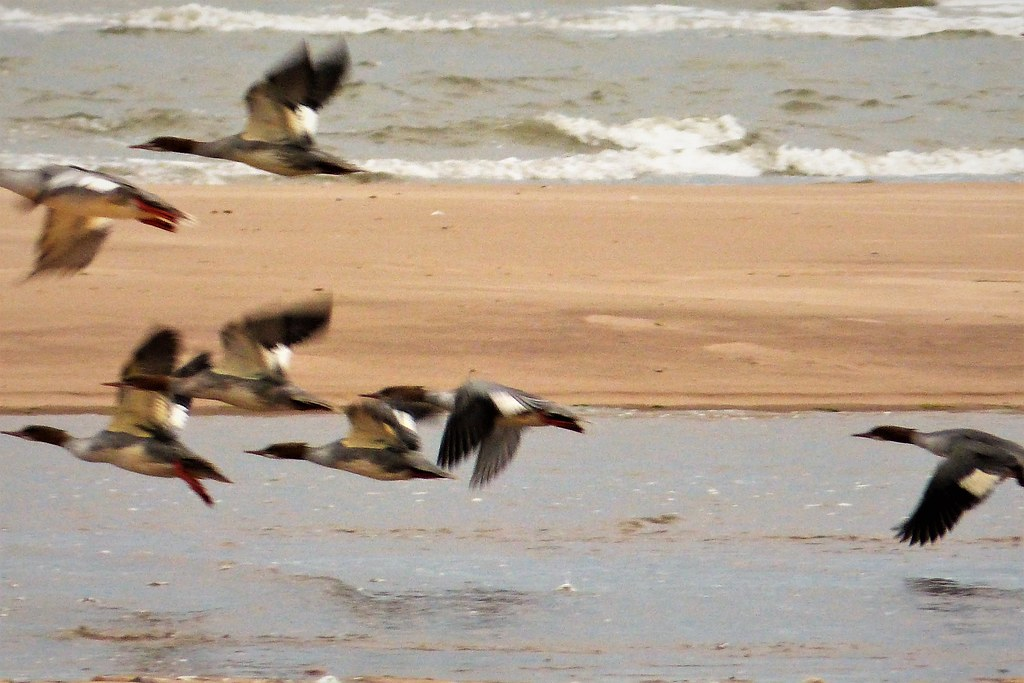 Red-breasted Mergansers. Mergus serrator