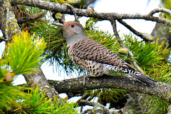 Northern Flicker (Colaptes auratus) female Red-shafted (R-Gasman) Tags: bird northernflicker colaptesauratus female redshafted garrypoint richmond britishcolumbia canada