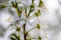 White (Maria Eklind) Tags: vår macro malmö flower sweden blommor closeup springtime spring skånelän sverige se