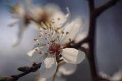 Prune     Angénieux 100mm F 3.5 (情事針寸II) Tags: マクロ撮影 自然 花 李 スモモ light bokeh triplet oldlens macro nature fleur flower prune angénieux100mmf35