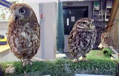 Jensen,Star and Chester (billnbenj) Tags: barrow cumbria owl tawnyowl littleowl raptor birdofprey westernscreechowl