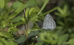 Summer Azure in Early Spring (Odonata457) Tags: summerazure celastrinaneglecta cocanalnationalhistoricalpark pointofrocks frederickcounty maryland