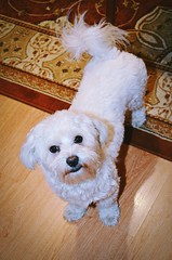 """1/12 """"Hello, I'm Fela. Do you play with me?"""" :) (green_lover (I wait for your COMMENTS!)) Tags: fela dog dogs pets animals maltese white 12monthsfordogs floor"""
