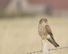 After the Hunt (D.Webber__) Tags: kestrel bird prey kent uk england raptor post