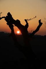 dettagli di un tramonto - Pianello di Ostra (walterino1962 / sempre nomadi) Tags: sole albero rami foglie colline pendii vegetazione alberi arbusti erba luci ombre riflessi pianellodiostra ancona