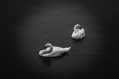 As one (tonguedevil) Tags: outdoor outside countryside winter pond lake water ripples birds swans swan floating bw nature