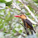 Ao Phang Nga, Brown-winged Kingfisher - Pelargopsis amauroptera, Mangrove, Thailand, Jan 2019