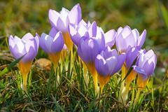 Krokusse (KaAuenwasser) Tags: krokusse gruppe pflanzen blüten blüte wiese gras grün bunt zierblume frühling makro sonne wärme park anlage blume garten licht hell tageslicht sony ilce7rm3 schatten form blütenblätter farben