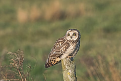 Short Eared Owl (drbut) Tags: shortearedowl asioflammeus birdofprey raptor farmland grass avian bird birds wildlife nature nikond500
