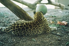 not a kitty (SaintPaula) Tags: zoo tiger giraffes film filmisnotdead fimphotography vienna austria animals photos