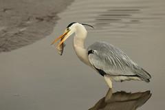 Catch a fish (Teruhide Tomori) Tags: nature bird wild kyoto japan japon hirosawanoike pond winter animal greyheron アオサギ 野鳥 広沢池 京都 冬 鳥 動物 野生 日本