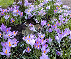 Crocuses in the Garden (neuphin) Tags: crocus crocuses flower purple spring 2019 garden