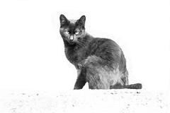 Black Cat B&W (zeevveez) Tags: זאבברקן zeevveez zeevbarkan canon bw cat