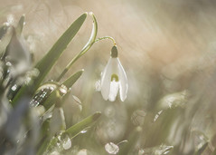 nature's jewels (Emma Varley) Tags: snowdrop flower wild spring february westsussex bokeh sparkle dreamy warmth softfocus
