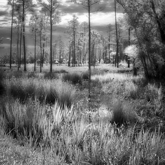Infrared wetlands (Ed Rosack) Tags: grass olympus landscape pine nature water hires ©edrosack panorama florida palm evergreen tree forest centralflorida swamp usa tosohatcheewma infrared ir christmas us