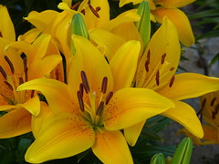 Sunny Friday (npbiffar) Tags: yellow bright sunny lilly macro garden outdoor flower npbiffar fz200 lumix coth coth5 ngc