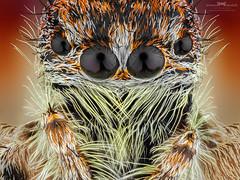 oOOo (Ireneusz Irass Waledzik) Tags: irass ireneusz oooo jumpingspider spider waledzik wemacro olympus omd olympuspoland olympuspro macrophotography macro magazine microscope macromondays mitutoyomplanapo5x stack closeup nationalgeographic nature ngc