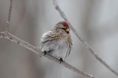 Common Redpoll (Laura Erickson) Tags: fringillidae saxzimbog stlouiscounty commonredpoll birds passeriformes species places minnesota acanthisflammea