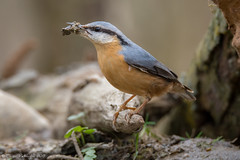 Le travail continue. (DorianHunt) Tags: birds bokeh march 2019 nuthatch switzerland nikond500 sigma 150600mm