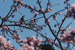 0653 (YamatoHishino) Tags: bird blossom plumblossom blossoms plumblossoms sky blue kyoto a7 α7 α7ⅲ ilce ilce7m3 ilce7mk3 arashiyama nature spring japan japanese sony tamron tamron2875 京都 花 梅 鳥