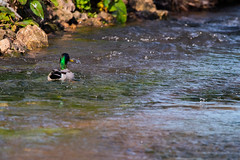 Cruising down the stream (Mikon Walters) Tags: stream river brook duck bird animal creature animals living things wild life wildlife nature outdoors nikon d5600 sigma 150600mm contemporary super zoom lens photography rocks