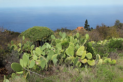 Barbary fig on our way (EduardMarmet) Tags: lapalma spanien esp