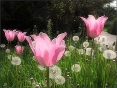 (Tölgyesi Kata) Tags: arboretum budaiarborétum withcanonpowershota620 tulip tulipán garden spring budapest tavasz fleur virág tulpen tulipa sorrow