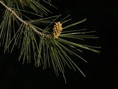 Baby Pine Cone on Black Background (zeevveez) Tags: זאבברקן zeevveez zeevbarkan canon pine cone black background