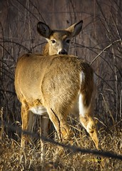What the heck? (wfgphoto) Tags: whitetaileddeer doe sunshine look headposition