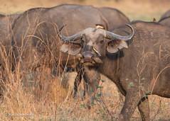 BK0_8255 (b kwankin) Tags: africanbuffalo southluangwanp zambia africa bird oxpecker
