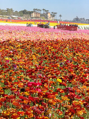 The Flower Fields 3.30.19 2 (Marcie Gonzalez) Tags: the flower fields carlsbad southern california ca flowers attraction attractions destination destinations plant plants petal petals bloom blooming blooms many botanical botanicals light day morning lighting sun sunny daylight natural nature theflowerfieldscarlsbad san diego field rainbow rows color colors bright ranunculus county north america usa socal so cal marcie gonzalez marciegonzalez marciegonzalezphotography photography canon theflowerfields flowerfields blanket cover covered horizon thousands spread 2019