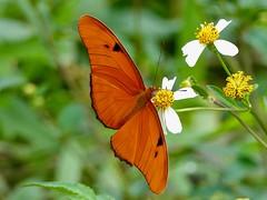Julia (Dryas iulia) (WRFred) Tags: florida loxahatcheenwr nature wildlife butterfly flower dryasiulia bidensalba
