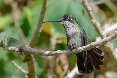 Talamanca Hummingbird Colibri Admirable..Bien zoomer sur la photo. (geolis06) Tags: geolis06 amérique america costarica nature oiseau bird pájaro ave nikon nikond7200 sigma150600mmf563contemporary eugenesspectabilis talamancahummingbird colibriadmirable