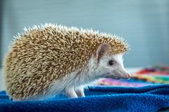 Hedgehog (stephanrudolph) Tags: animal hedghog d750 nikon handheld indoor london england uk gb europe europa