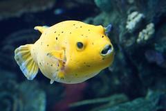 Peixa balão (Helderlopesfotos) Tags: fish yellow macro water natur natureza peixebalão sea light oceanário lisboa oceanáriodelisboa aquarium aquariumlisbon meleagris arothron