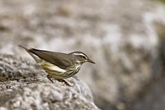 just before takeoff ( explore ) (G_Anderson) Tags: warbler waterthrush missouri spring migration creek urban birding