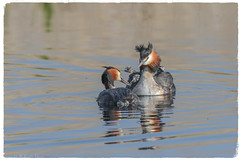 Great Crested Grebe and four Humbugs -(Podiceps cristatus) - 'Z' for zoom (hunt.keith27) Tags: somerset levels windy canon podicepscristatus plumes head ornate waterbird fish courtship weed grebes water greatcrestedgrebe waterfow humbugs distinguishedpictures