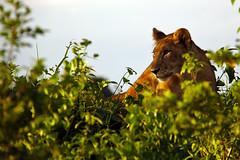 Watching Momy Hunt (pbr42) Tags: africa uganda queenelizabethnationalpark nationalpark nature outdoor