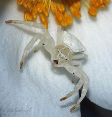 04.04.2019 Crab Spider (blackcatcraft) Tags: macro spider crabspider eyes