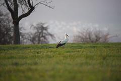 DSC_3420 (d90-fan) Tags: storch schwarzwald calw 2019 frühling wiese natur vogel zugvogel nordschwarzwald nikon d750 nikond750