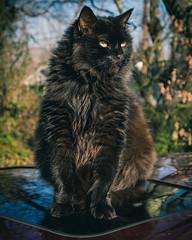 Serious Warmth (Explore) (Noel Alvarez1) Tags: black cat gato negro olympus pet portrait animal winter warm warmth fluffy adorable sunny sunlight natural light