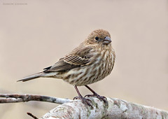 House Finch (mjohnsonpics) Tags: 150600mm f563 dg os hsm | contemporary 015 birds house finch nature beautiful