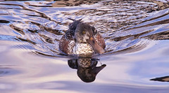 Northern Shoveler (m) (robinlamb1) Tags: nature outdoor animal bird waterfowl duck shoveler northernshoveler anasclypeata water waves mill lake