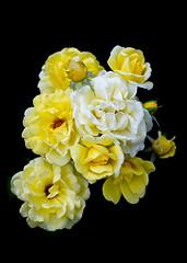 Yellow Cluster (s.d.sea) Tags: yellow rose roses garden flower flora floral bloom spring summer grow blossom petals pnw pacificnorthwest washington washingtonstate wa pentax k5iis issaquah klahanie sammamish