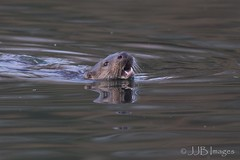 Wild Otter. (JJB Images) Tags: amazingnature beautiful beauty canon clear canoneos6d countryside country chippenham detail detailed england ef focus is interesting jjbimages lumix lyneham lovelylight lake marlborough nikon nature natural oxfordshire otter panasonic royalwoottonbassett rural swindon fuji wiltshire wildlife zoomed zoom canonef600mmf4islens f4