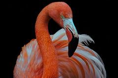 Animal Portraits - Dah...ling... (KWPashuk (Thanks for >3M views)) Tags: nikon d7200 tamron tamron150600mm lightroom luminar luminar2018 luminar3 kwpashuk kevinpashuk flamingo bird animal portrait toronto zoo ontario canada torontozoo nature wildlife