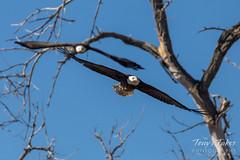 February 1, 2019 - Bald eagles take flight in Adams County. (Tony's Takes)