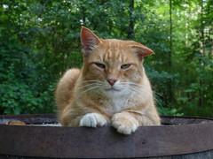 Stewart-J-Cat (jmunt) Tags: cat stewartjcat buddy
